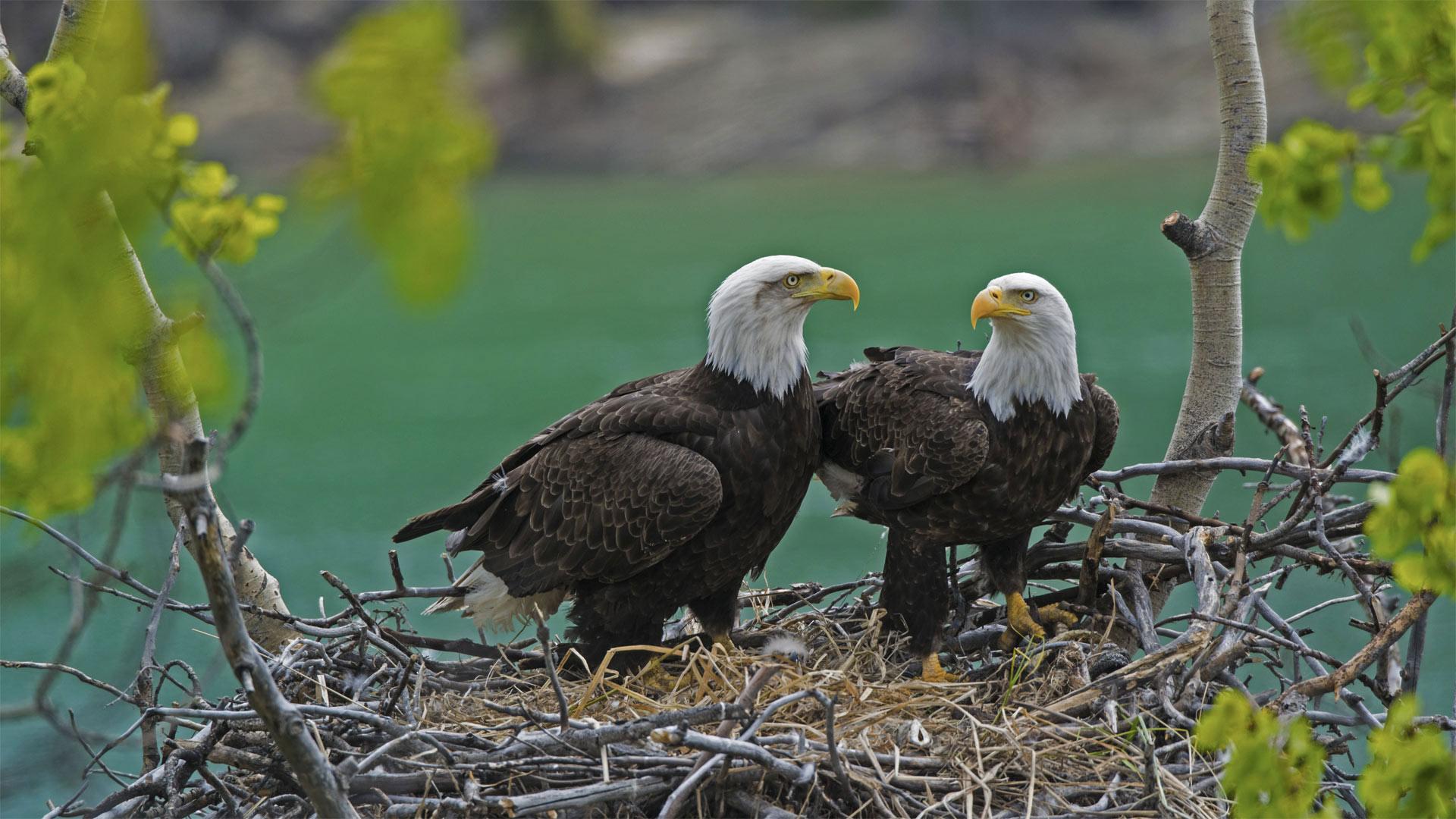 育空河附近巢穴中的一对白头海雕和雏鹰,加拿大育空 (© Mark Newman/Minden Pictures)