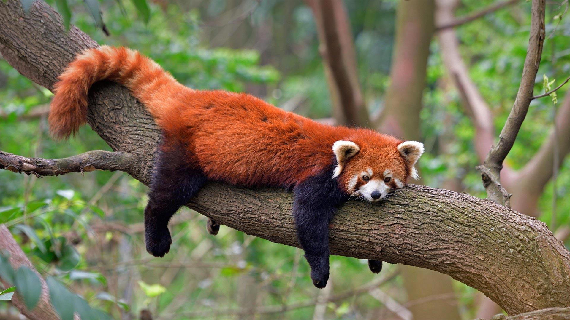 四川成都熊猫基地的小熊猫 (© Biosphoto/Alamy)