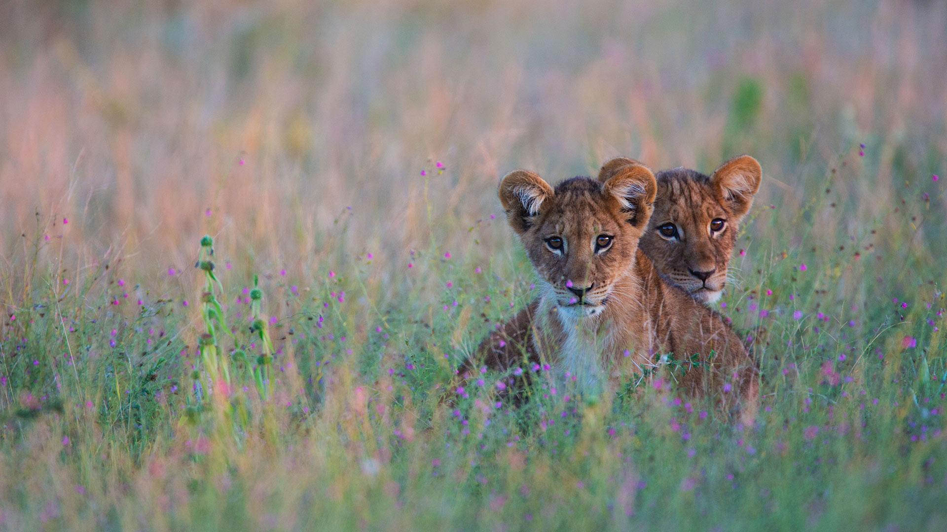 藏在高高的草丛中的狮子幼崽,博茨瓦纳卡拉哈里沙漠 (© Jami Tarris/Getty Images)