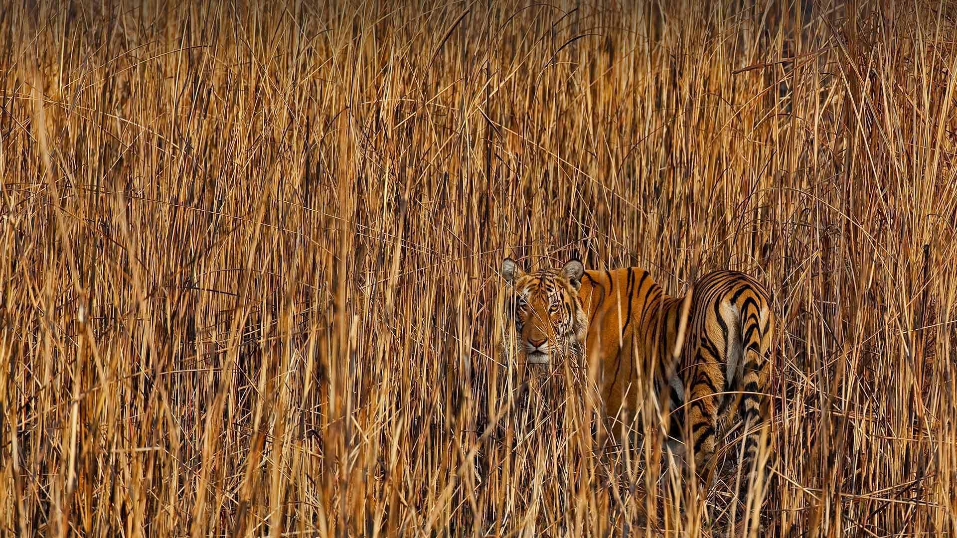 隐藏在高草丛中的老虎,印度阿萨姆邦 (© Sandesh Kadur/Minden Pictures)