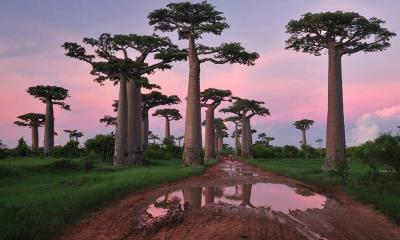 2020.06.26 - 穆龙达瓦附近的格兰迪尔猴面包树林,马达加斯加