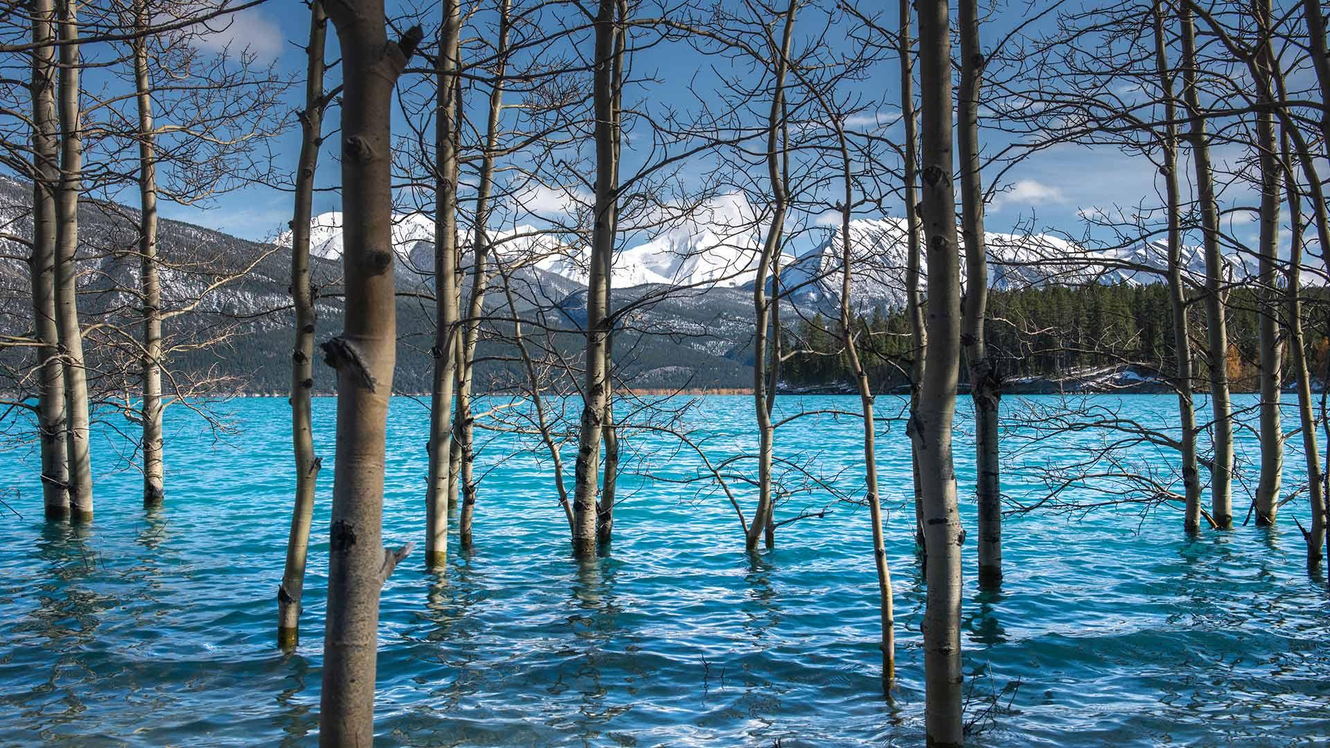 亚伯拉罕湖中的树,加拿大艾伯塔 (© Coolbiere/Getty Images)
