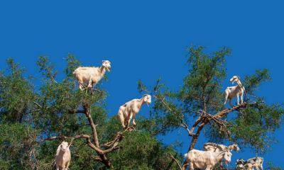 2020.06.29 - 索维拉附近摩洛哥坚果树上的山羊,摩洛哥