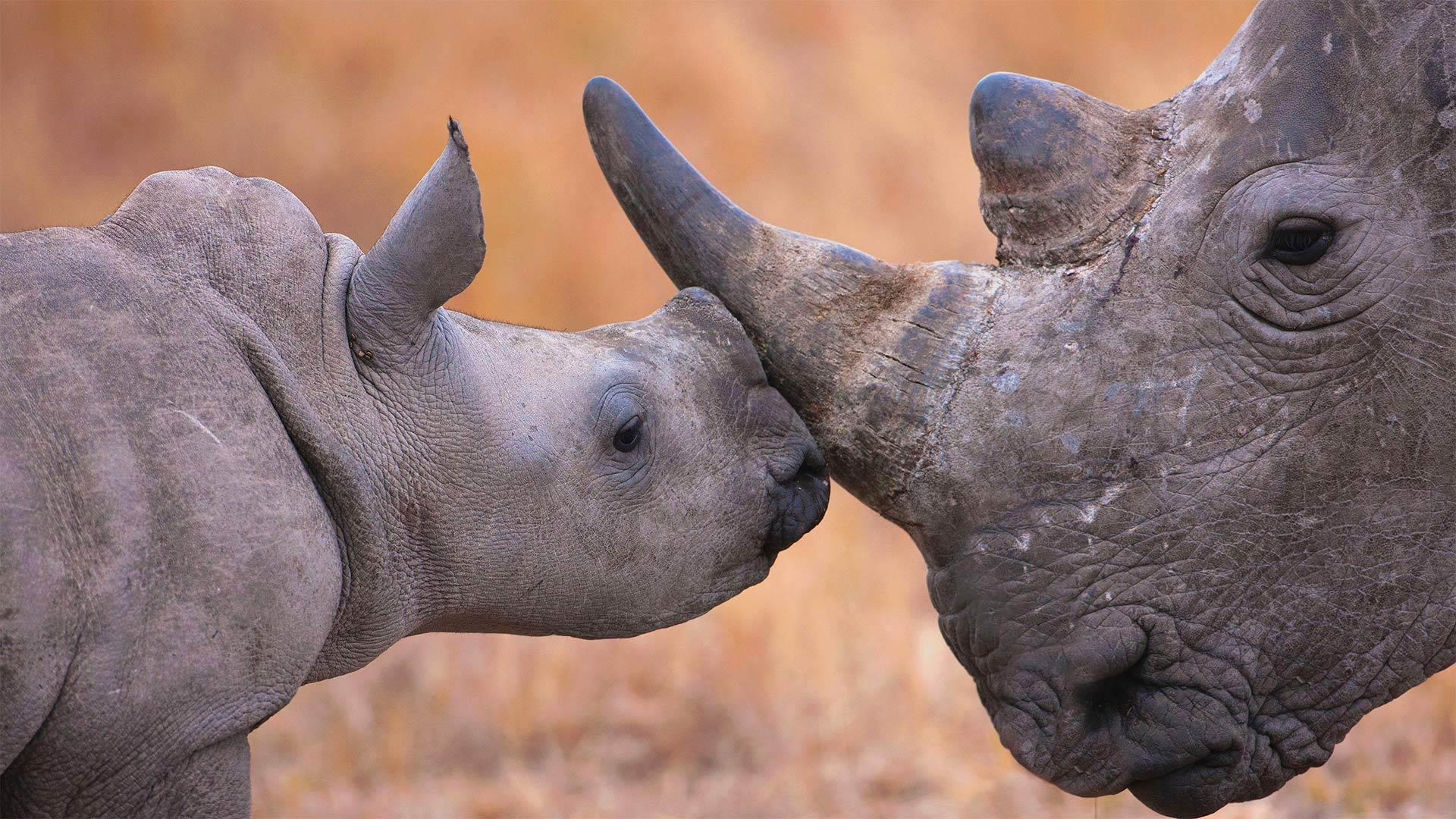 白犀牛宝宝和它的妈妈 (© Martin Harvey/Alamy)