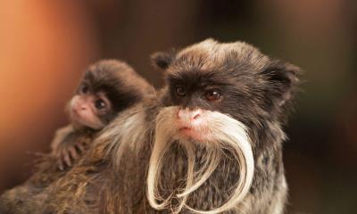 2020.06.21 - 一只带着幼崽的长胡子皇狨猴