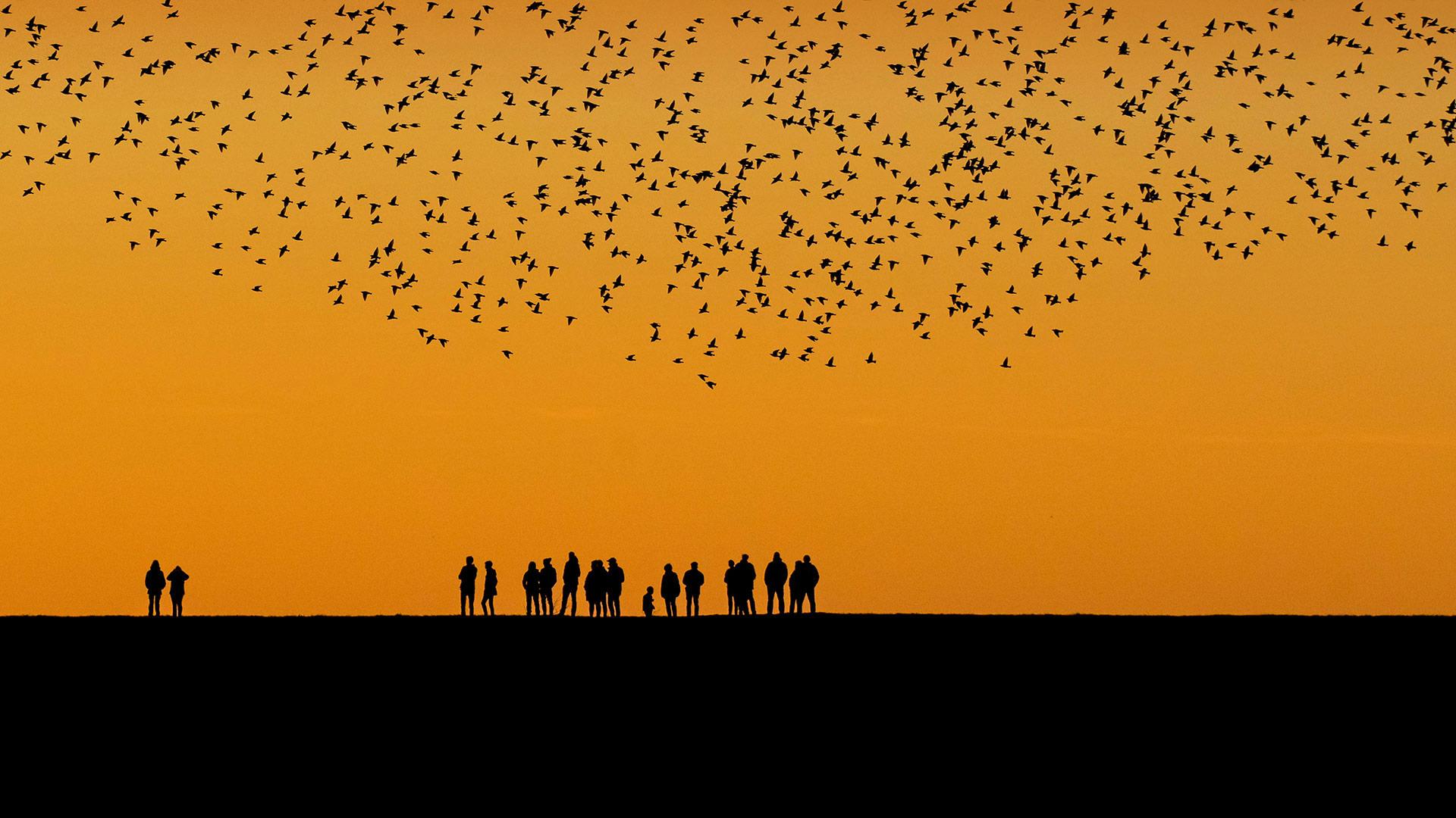 秋季在湿地上空迁徙的椋鸟群 (© Viking/Alamy)
