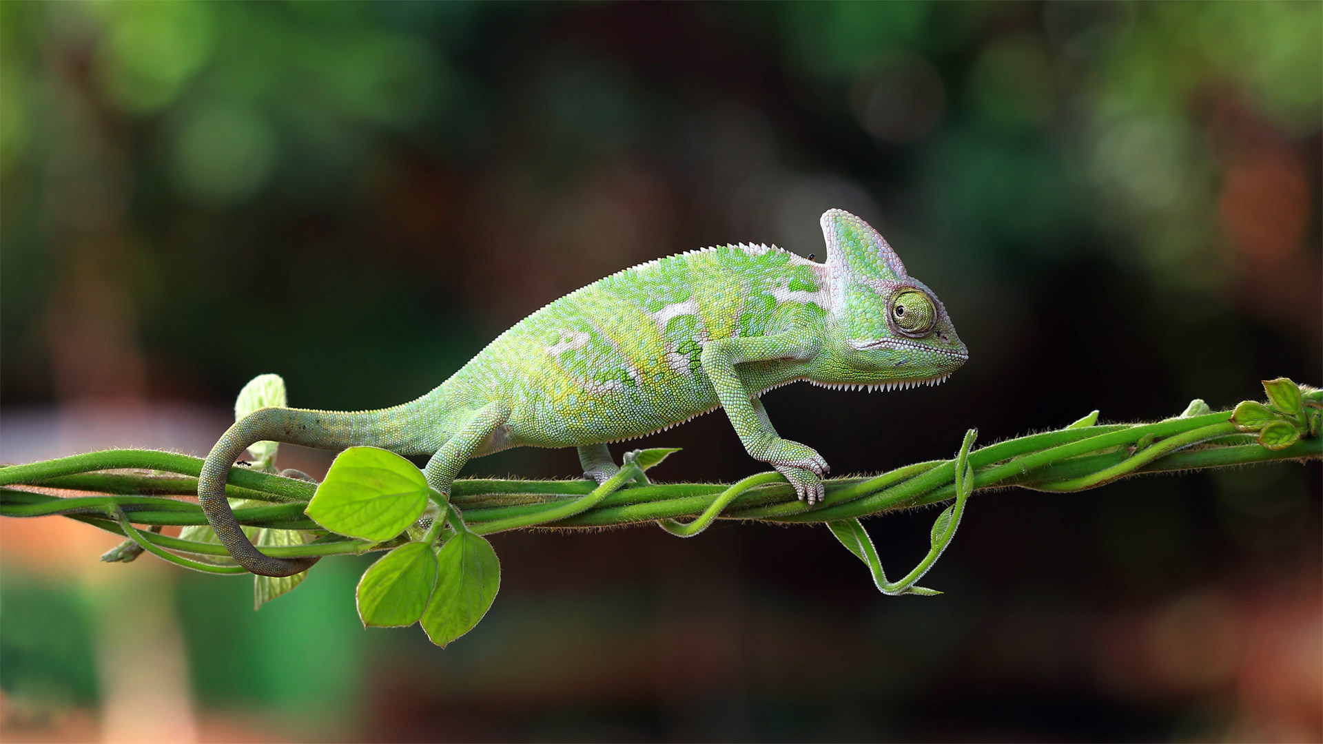 Chameleon walking on a plant, Indonesia (© SnapRapid/Offset by Shutterstock)