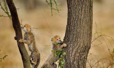 正在爬相思树的猎豹幼崽们,坦桑尼亚恩戈罗恩戈罗保护区