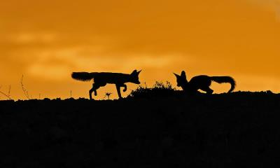2020.07.03 - 卡拉哈里沙漠中的南非狐,南非