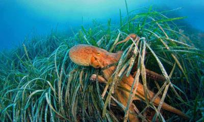海草中的章鱼,法国利翁湾