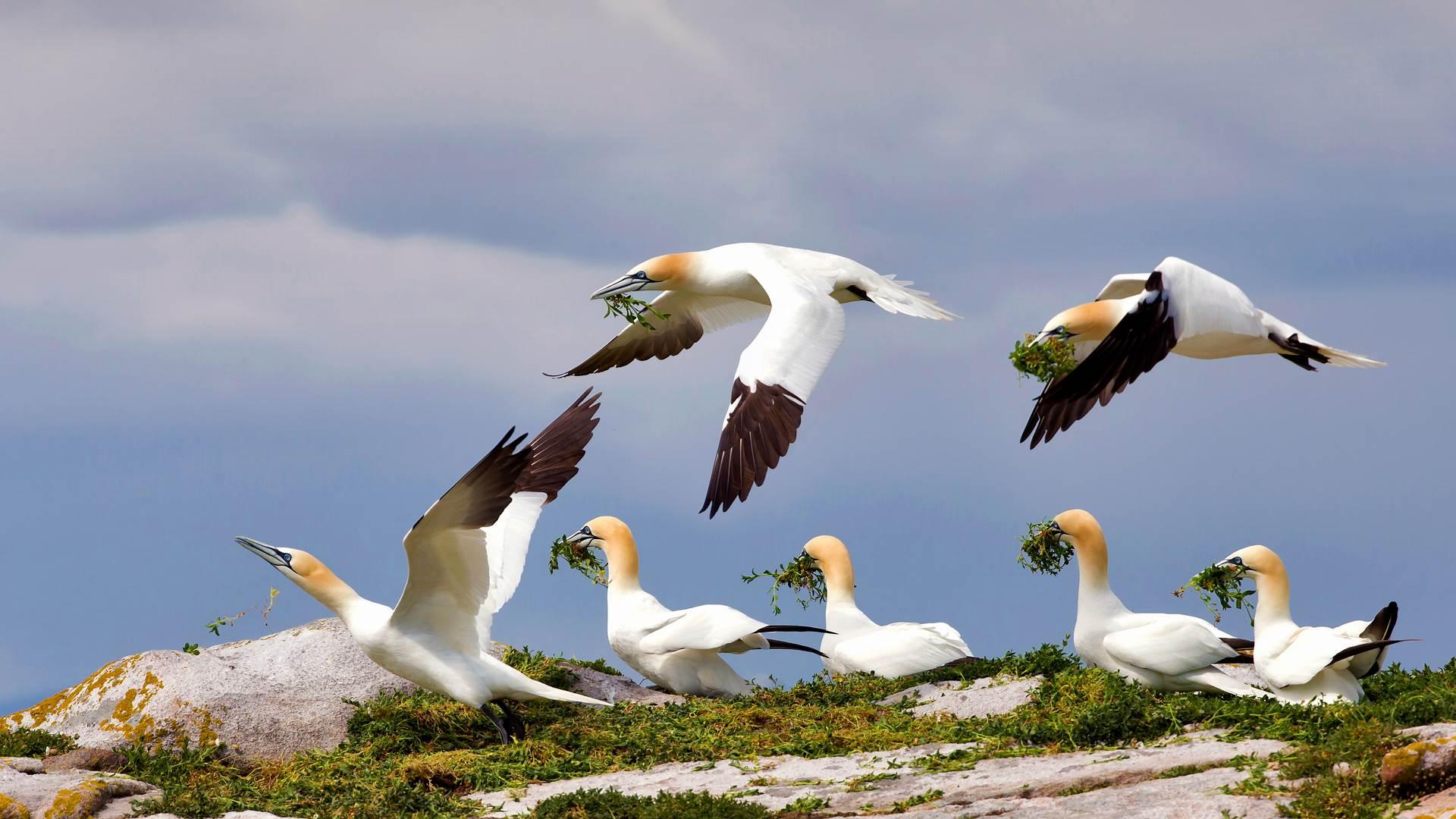 大萨尔提岛上的北方塘鹅,爱尔兰