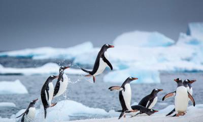 南极丹科岛附近的巴布亚企鹅