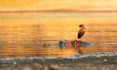 站在河马身上的锤头鹳,津巴布韦马纳潭国家公园