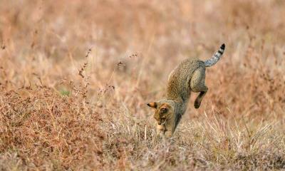 2020.06.20 - 正在捕猎的丛林猫,印度
