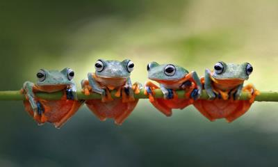 2021.07.24 - Javan tree frogs sitting together on a stalk in Indonesia