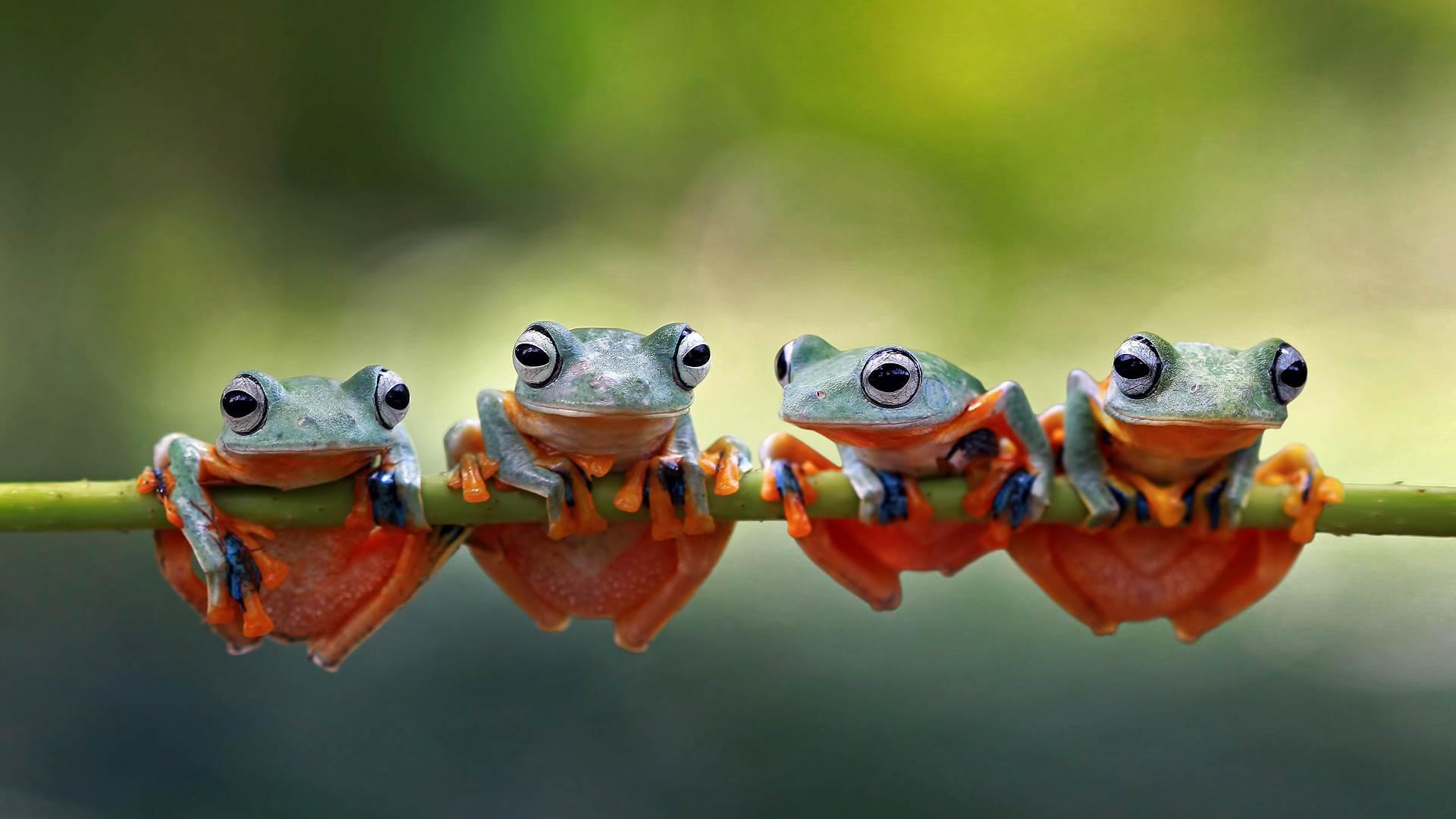 四只爪哇树蛙趴在树茎上,印度尼西亚
