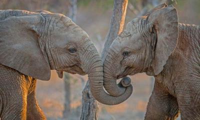 2020.07.24 - 南非卡帕马私人野生动物保护区的大象