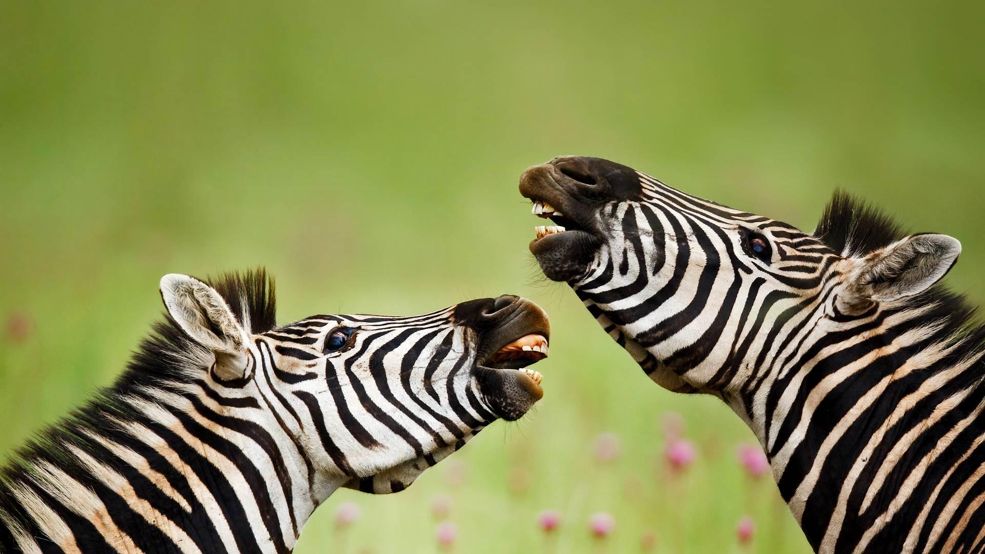 Rietvlei自然保护区内的雄性布氏斑马,南非