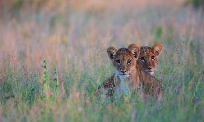 藏在高高的草丛中的狮子幼崽,博茨瓦纳卡拉哈里沙漠