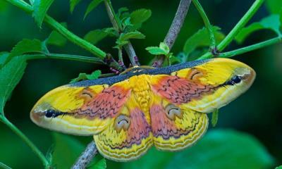 2021.07.17 - A Loepa oberthuri moth