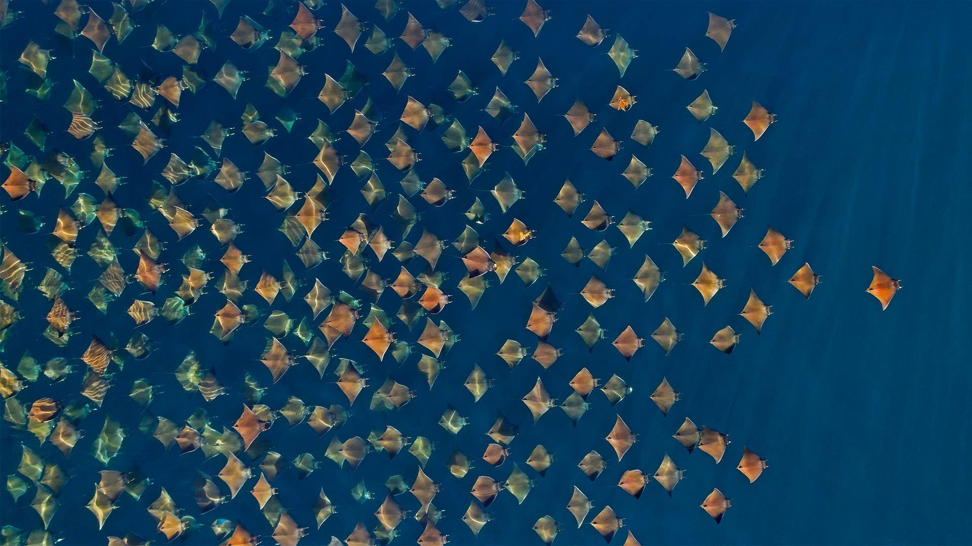 大群的芒基蝠鲼跃出水面,墨西哥加利福尼亚湾 (© Mark Carwardine/Minden Pictures)