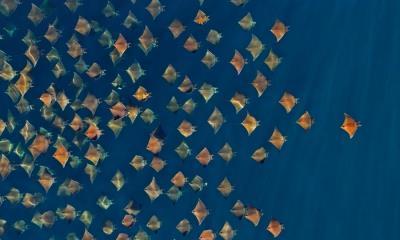 2021.04.19 - 大群的芒基蝠鲼跃出水面,墨西哥加利福尼亚湾