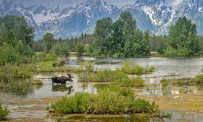 2021.07.13 - 驼鹿穿过莫兰山下的池塘,怀俄明州大提顿国家公园