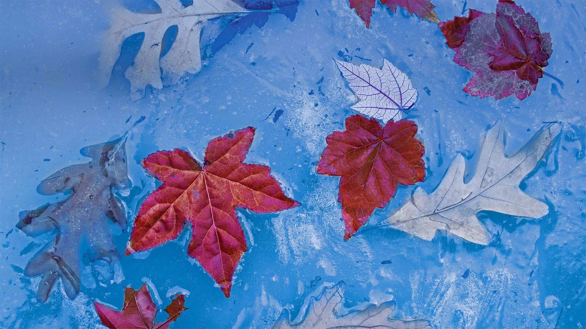 2020.12.06 - 普莱斯湖中冰封的秋叶