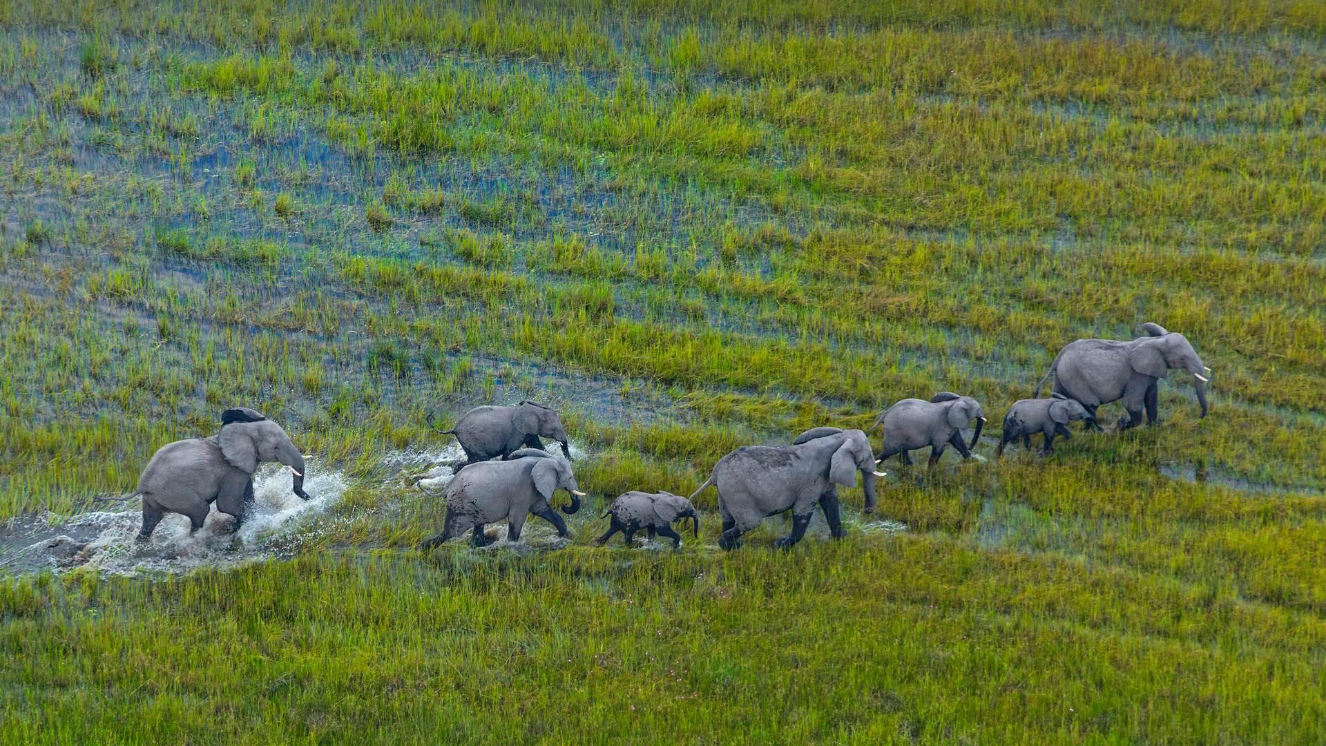 奥卡万戈三角洲上的非洲草原象群,博茨瓦纳