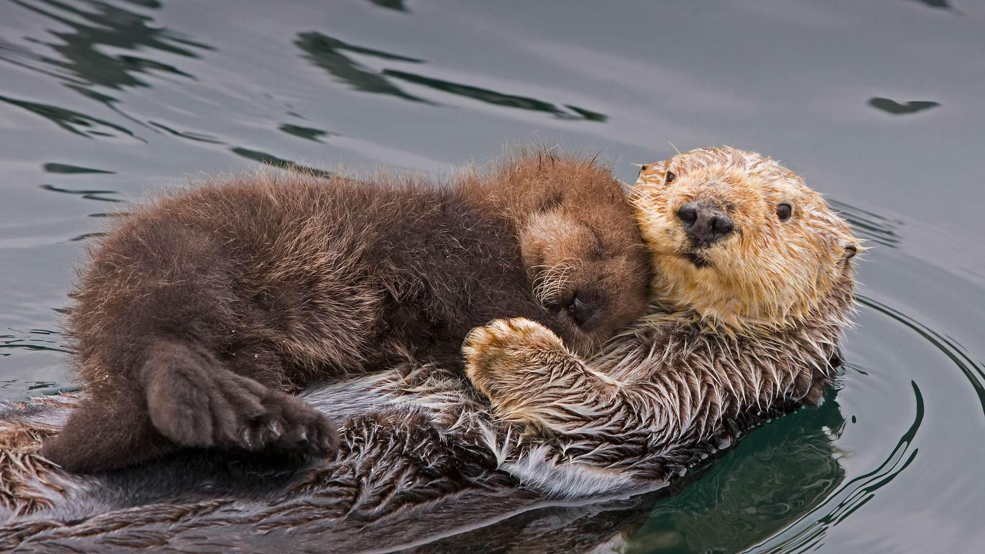 海獭妈妈和新生的幼崽,加利福尼亚州蒙特雷湾