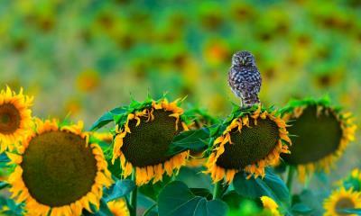 2020.07.04 - 栖息在向日葵上的一只小猫头鹰,西班牙加的斯