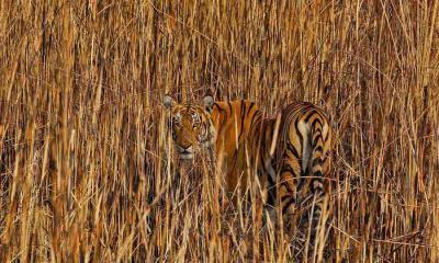 隐藏在高草丛中的老虎,印度阿萨姆邦