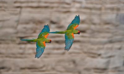 奥梅雷克的红额金刚鹦鹉,玻利维亚科恰班巴