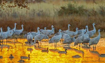 野生动物保护区中的沙丘鹤和野鸭,美国新墨西哥州