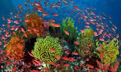 2021.07.28 - 珊瑚礁周围的丝鳍拟花鮨鱼群,澳大利亚昆士兰大堡礁