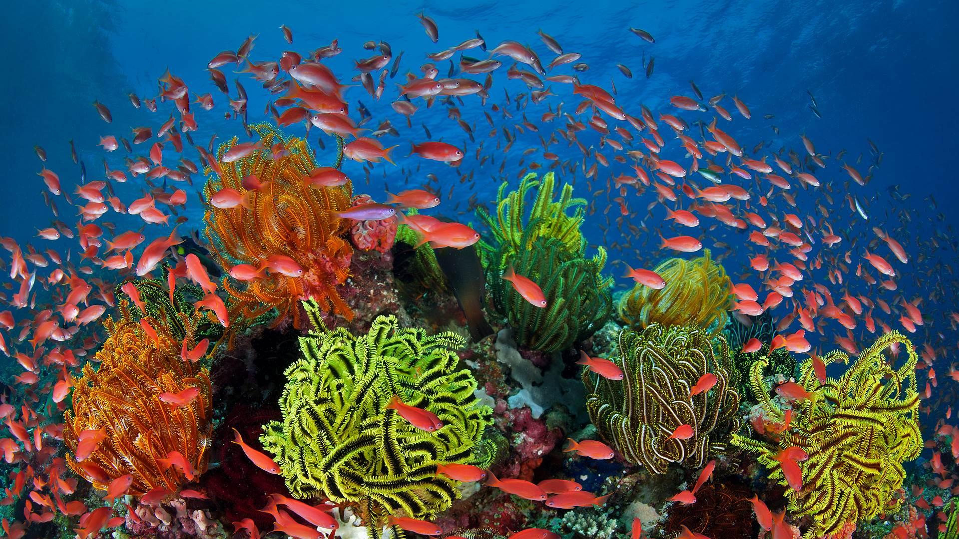 珊瑚礁周围的丝鳍拟花鮨鱼群,澳大利亚昆士兰大堡礁