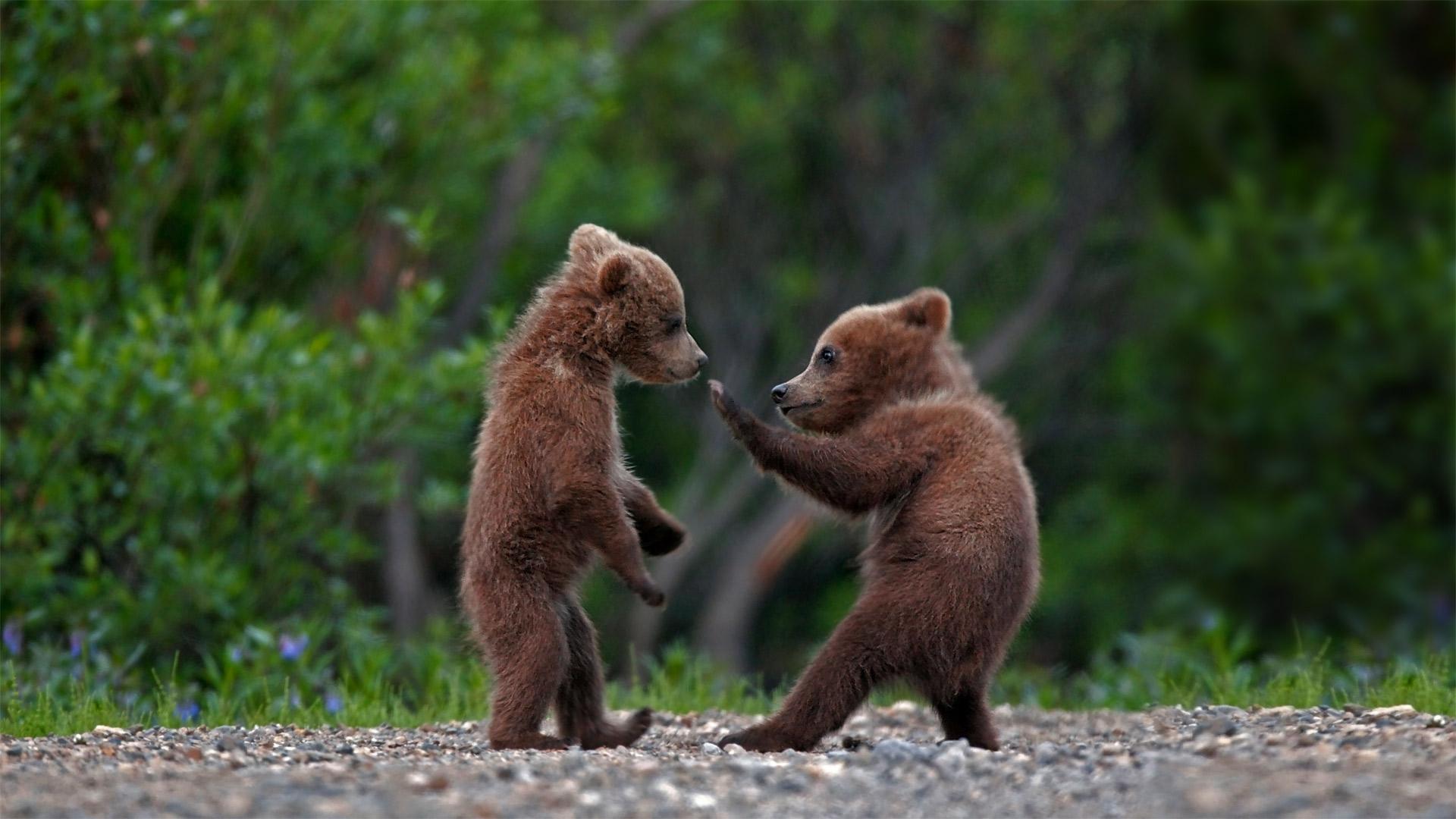 在迪纳利国家公园中玩耍的灰熊幼崽,阿拉斯加  (© Ron Niebrugge/Alamy)
