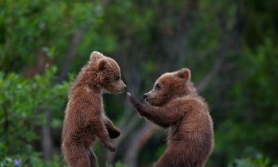 2021.04.10 - 在迪纳利国家公园中玩耍的灰熊幼崽,阿拉斯加