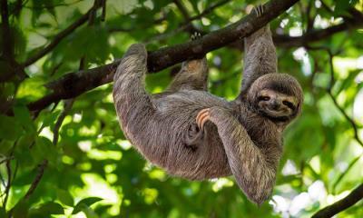 2021.10.20 - 微笑的树懒,哥斯达黎加