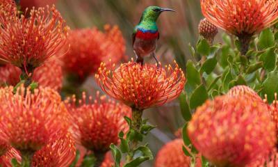 2020.06.22 - 伯斯国家植物园针垫花上的一只雄性南方双领太阳鸟,南非开普敦
