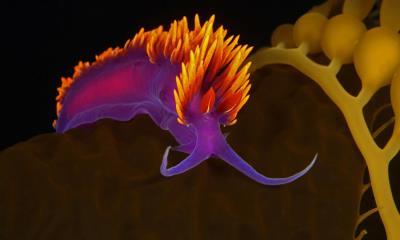 圣卡塔利娜岛附近海藻上的西班牙披肩海蛞蝓,加利福尼亚海峡群岛