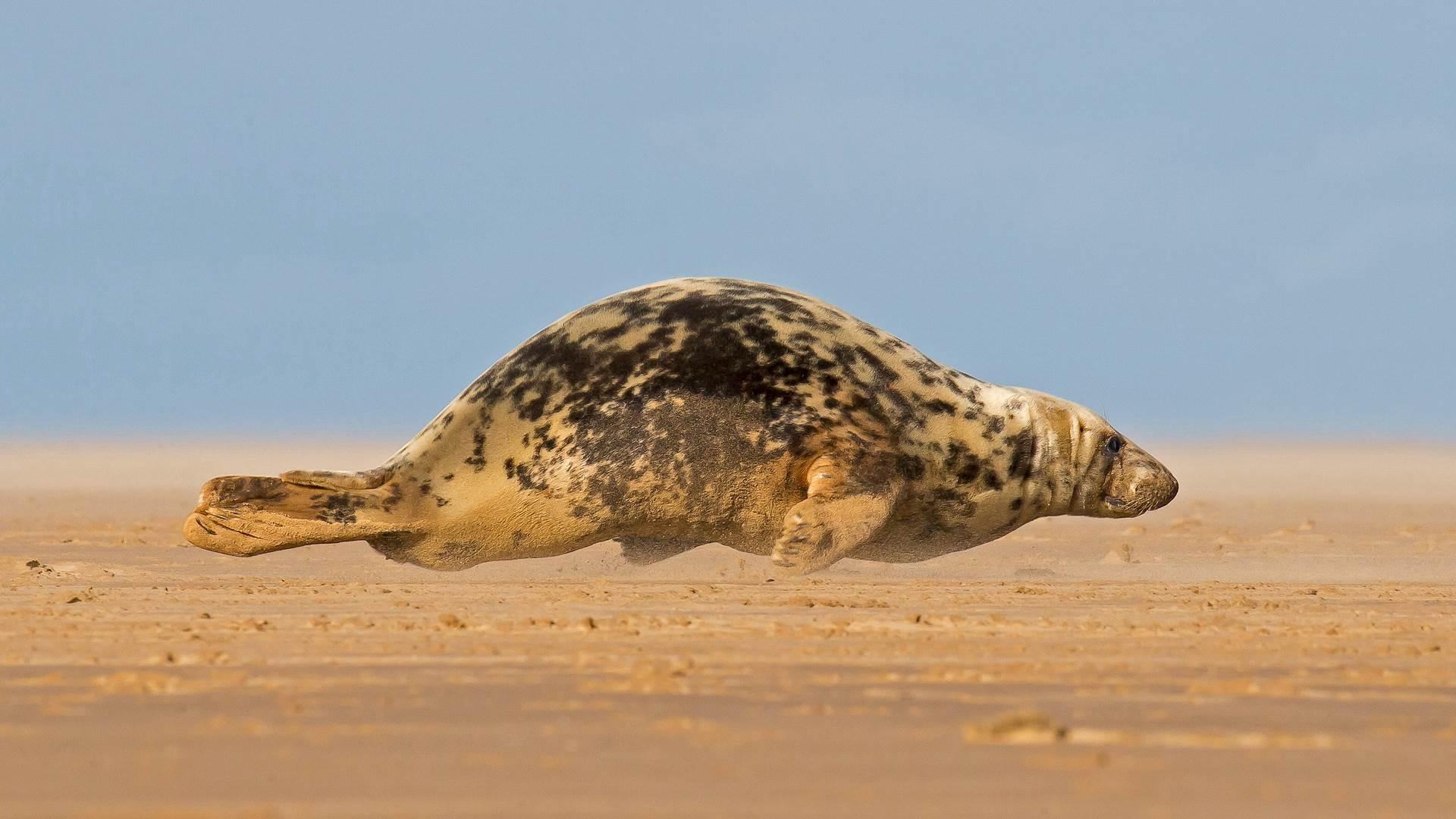 正爬上唐娜·诺克沙滩的灰海豹,英格兰北林肯郡