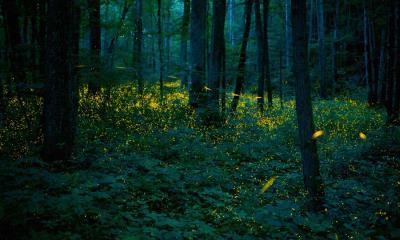 同步发光萤火虫照亮了大烟山国家公园中的森林