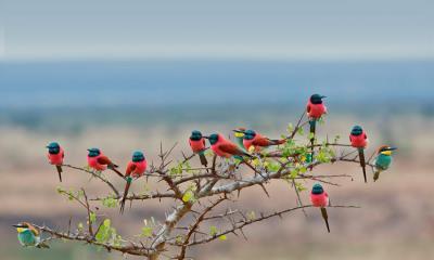 姆科马齐国家公园的北部胭脂红食蜂鸟和欧洲食蜂鸟,坦桑尼亚