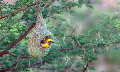 浦那的黄胸织布鸟鸟巢,马哈拉施特拉邦