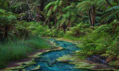 华卡雷瓦雷瓦森林的红木纪念树林,新西兰北岛