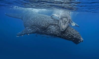 汤加海岸正要拥抱妈妈的小座头鲸