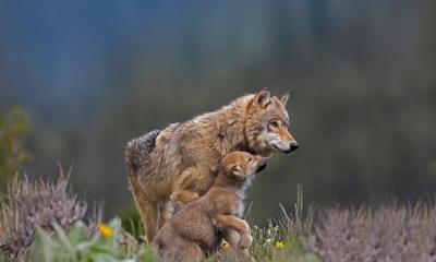 同乞食的小狗在一起的灰狼,蒙大拿州